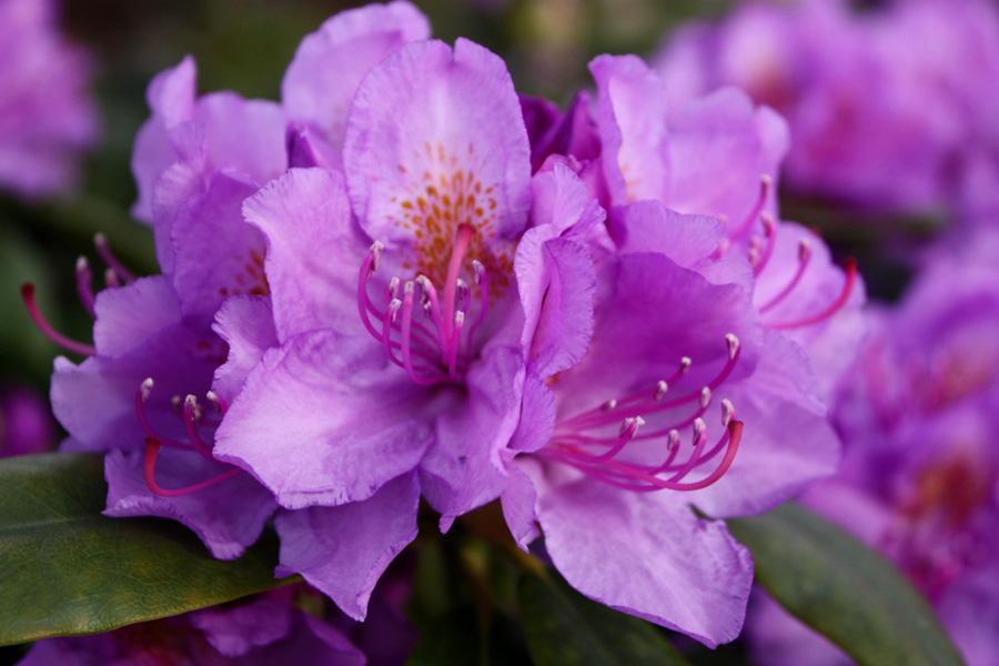 rhododendron hybr catawbiense grandiflorum i. Black Bedroom Furniture Sets. Home Design Ideas