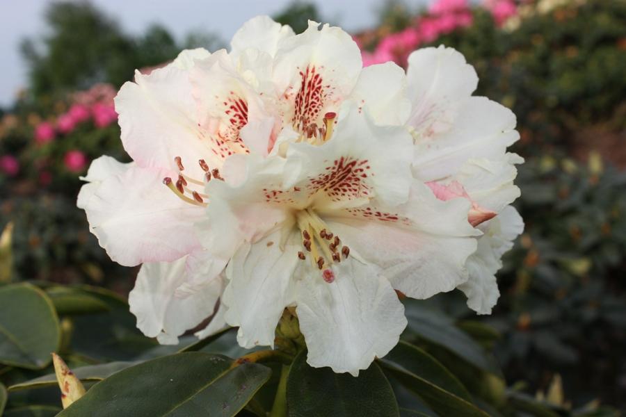 rhododendron hybr bellini ii. Black Bedroom Furniture Sets. Home Design Ideas