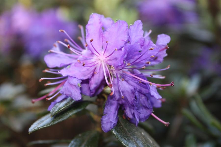 rhododendron impeditum azurika i. Black Bedroom Furniture Sets. Home Design Ideas