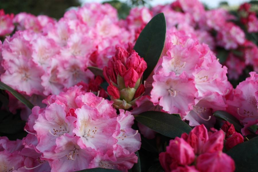 rhododendron yak marlis i. Black Bedroom Furniture Sets. Home Design Ideas